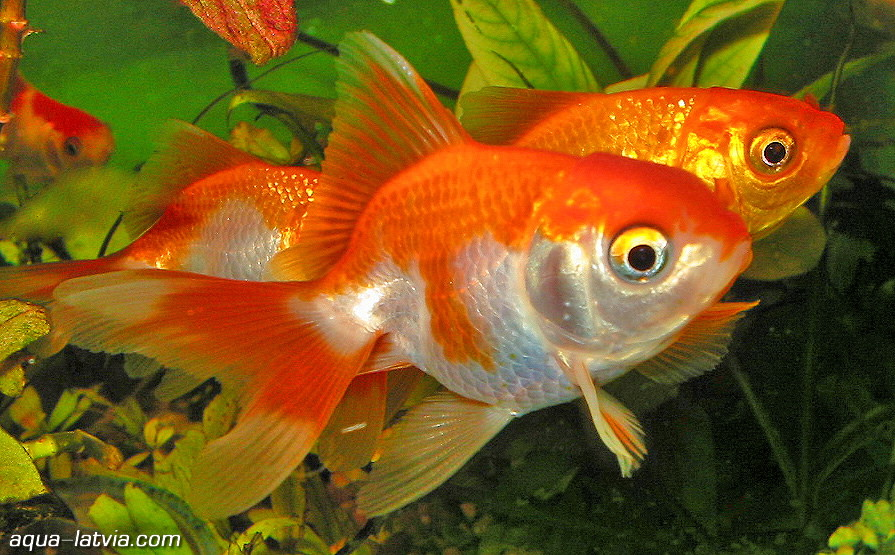 White oranda goldfish - photo#18